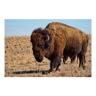 Kansas Buffalo Posters