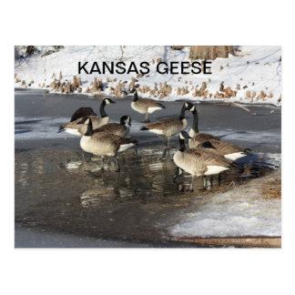 KANSAS GEESE POSTCARD