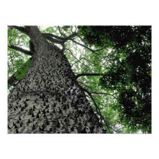 Kapok Tree @ Funchal,  Portugal Photo Print
