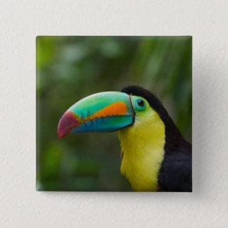 Keel-billed toucan on tree branch, Panama 15 Cm Square Badge