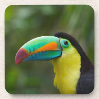 Keel-billed toucan on tree branch, Panama Coaster