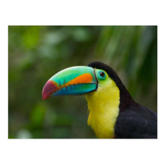 Keel-billed toucan on tree branch, Panama Postcard