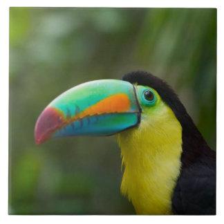 Keel-billed toucan on tree branch, Panama Tile