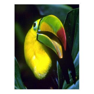 Keel-billed toucan postcard
