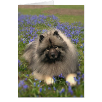 Keeshond and Flowers Card