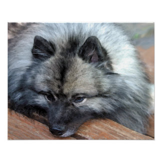 """Keeshond print titled """"At Rest"""""""