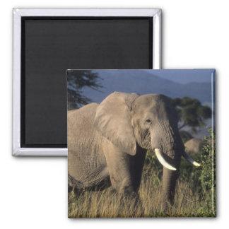 Kenya: Amboseli, male African elephant Square Magnet