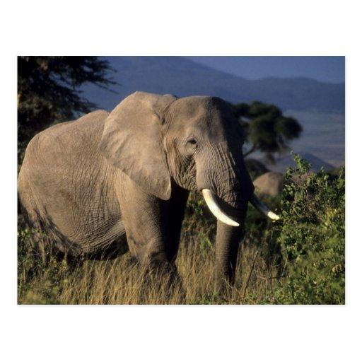 Kenya: Amboseli, male African elephant Postcards