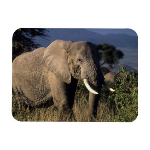 Kenya: Amboseli, male African elephant Rectangle Magnet