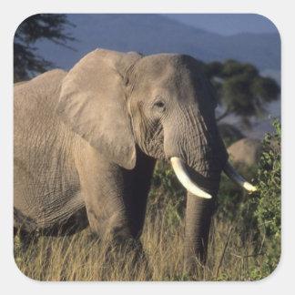 Kenya: Amboseli, male African elephant Square Sticker