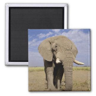 Kenya: Amboseli National Park, male elephant Square Magnet