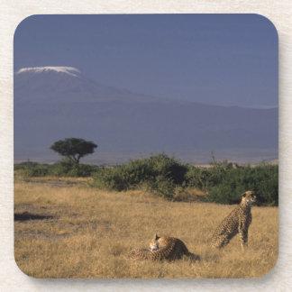 Kenya Amboseli two cheetahs Acinonyx Coasters