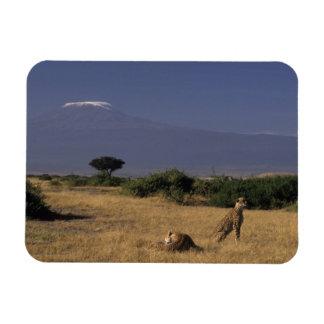 Kenya: Amboseli, two cheetahs ('Acinonyx Rectangular Photo Magnet