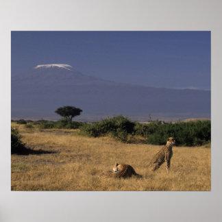 Kenya: Amboseli, two cheetahs ('Acinonyx Poster