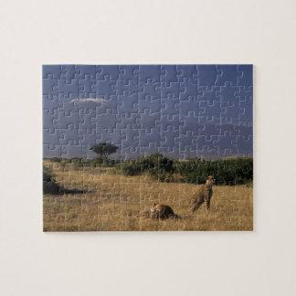 Kenya: Amboseli, two cheetahs ('Acinonyx Puzzle