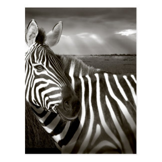 Kenya. Black & white of zebra and plain. Postcard