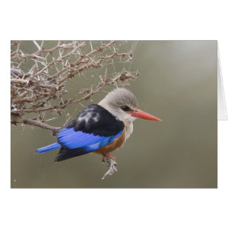 Kenya. Close-up of gray-headed kingfisher Card