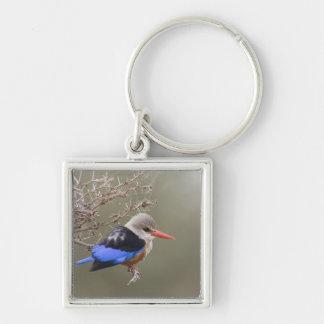 Kenya. Close-up of gray-headed kingfisher Key Chain