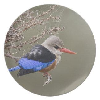 Kenya. Close-up of gray-headed kingfisher Plate