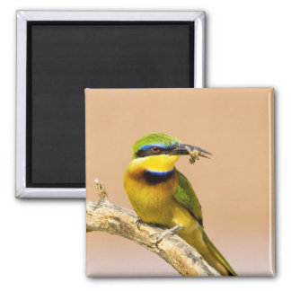 Kenya. Close-up of little bee-eater bird on limb Magnet