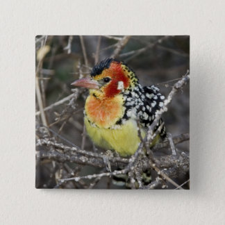 Kenya. Close-up of red and yellow barbet perched 15 Cm Square Badge