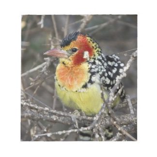 Kenya. Close-up of red and yellow barbet perched Notepad