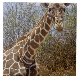 Kenya: Laikipia Plateau, Loisaba Wilderness Large Square Tile