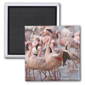 Kenya, Lake Nakuru National Park. Flamingos wade Fridge Magnet