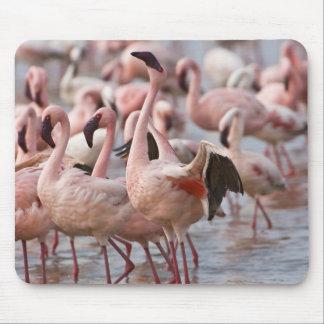 Kenya, Lake Nakuru National Park. Flamingos wade Mouse Mat