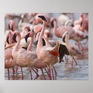 Kenya, Lake Nakuru National Park. Flamingos wade Poster