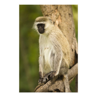 Kenya, Lake Nakuru National Park. Vervet Photograph