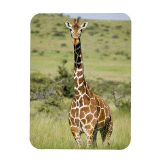 Kenya, Lewa Conservancy, Masai Giraffe standing Rectangular Photo Magnet