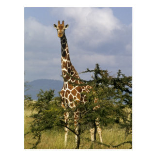 Kenya: Lewa Wildlife Conservancy, reticulated Postcard
