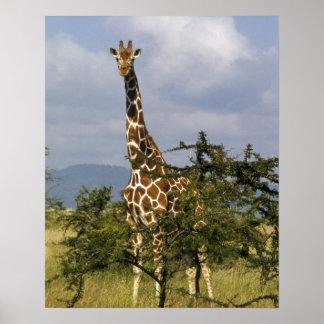 Kenya Lewa Wildlife Conservancy reticulated Poster