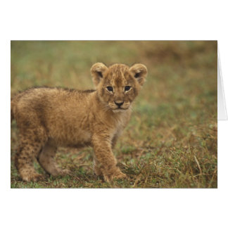Kenya. Lion Cub (Panthera Leo) Card