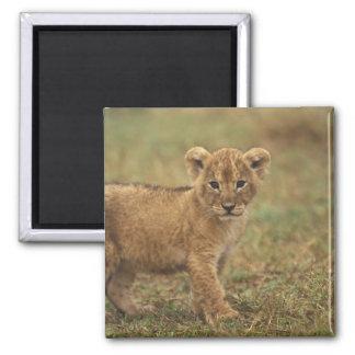 Kenya. Lion Cub (Panthera Leo) Square Magnet