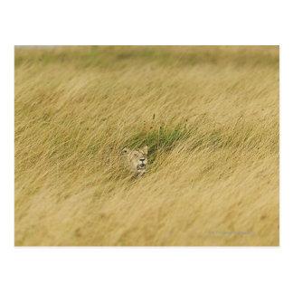 Kenya, Masai Mara 2 Postcard