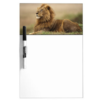 Kenya, Masai Mara. Adult male lion on termite Dry Erase Board