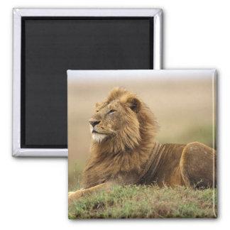 Kenya, Masai Mara. Adult male lion on termite Magnet
