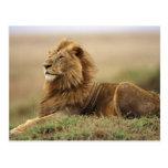 Kenya, Masai Mara. Adult male lion on termite Post Card