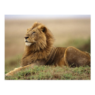 Kenya, Masai Mara. Adult male lion on termite Postcard