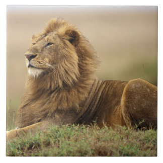 Kenya, Masai Mara. Adult male lion on termite Tile
