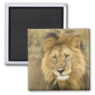 Kenya, Masai Mara. Close-up of lion. Credit as: Magnet