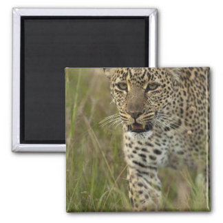 Kenya, Masai Mara Game Reserve. African 2 Square Magnet