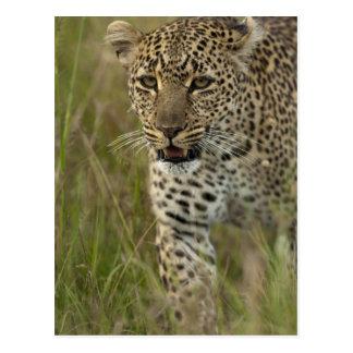 Kenya, Masai Mara Game Reserve. African 2 Postcard