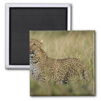 Kenya, Masai Mara Game Reserve. African 3 Square Magnet