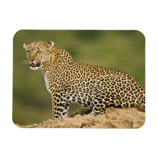Kenya, Masai Mara Game Reserve. African Leopard Magnet