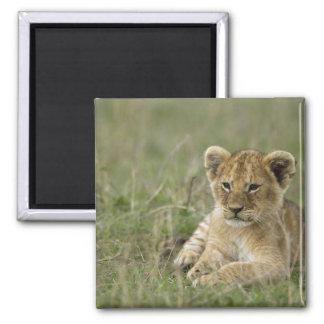 Kenya, Masai Mara Game Reserve. African Lion Magnet