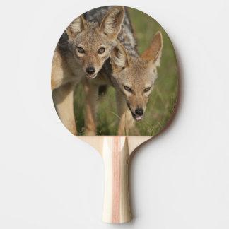 Kenya, Masai Mara Game Reserve. Black-backed Ping Pong Paddle