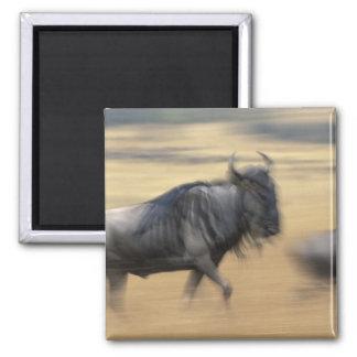 Kenya, Masai Mara Game Reserve, Blurred image Square Magnet